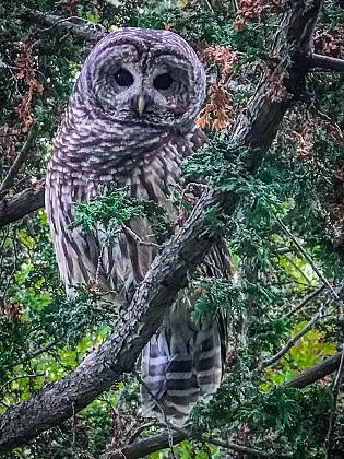 Owl in cedar tree outside Neville Hall
